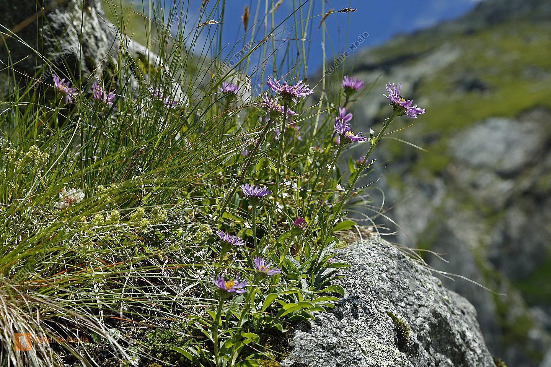 Alpen-Aster