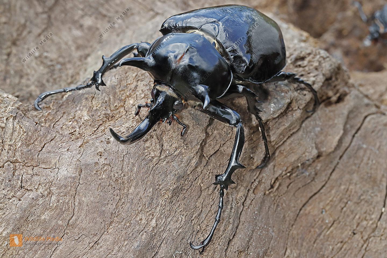 Elefantenkäfer Mars Männchen