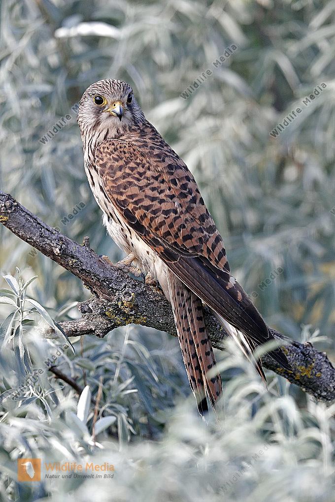 Turmfalke Weibchen