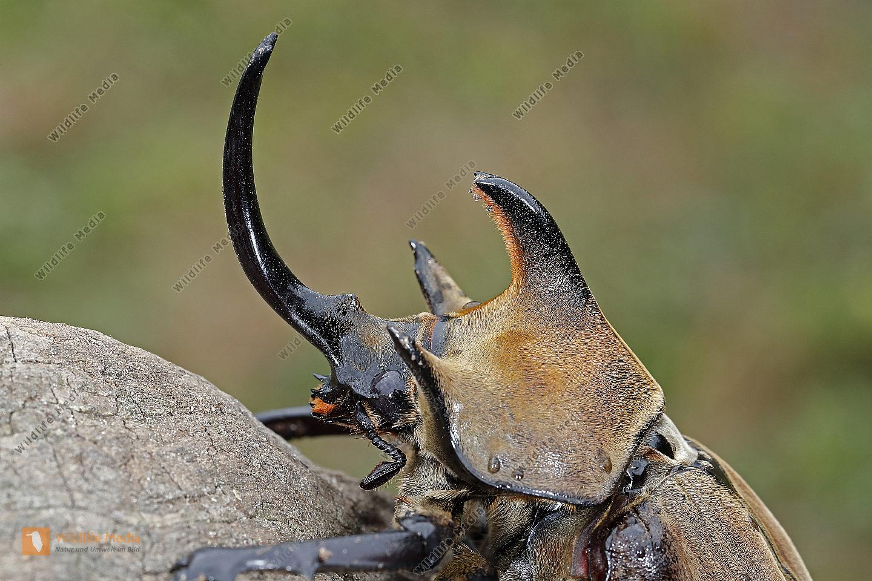 Elefantenkäfer gyas porioni Männchen