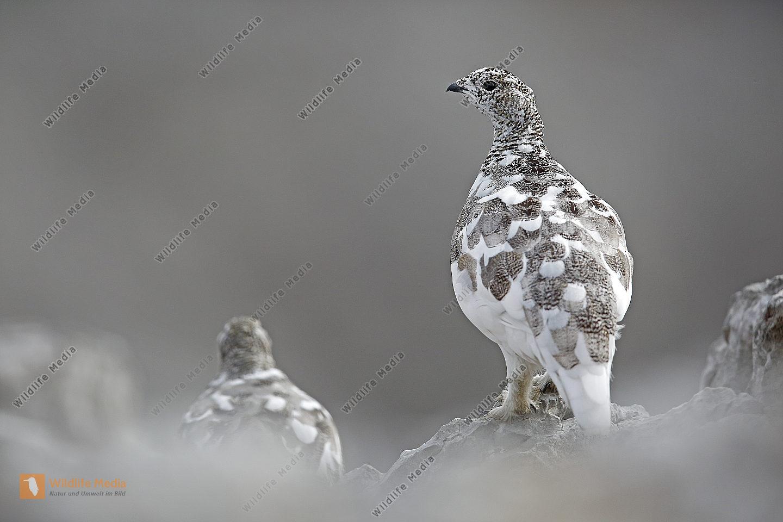 Alpenschneehuhn im Frühwinter