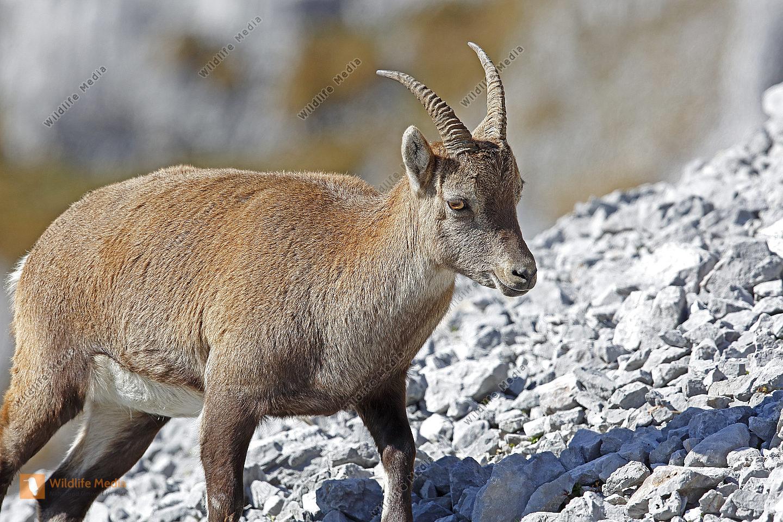 Alpensteinbock Weibchen