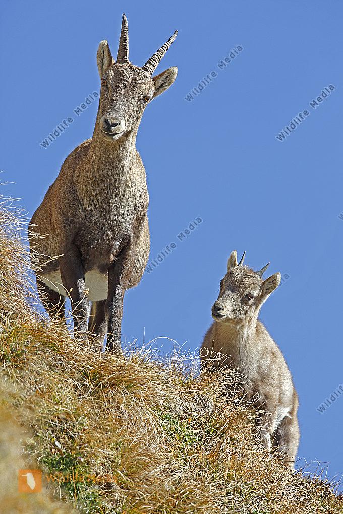 Alpensteinbock Weibchen mit Jungtier