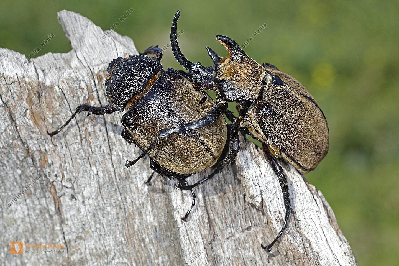 Elefantenkäfer gyas porioni Pärchen