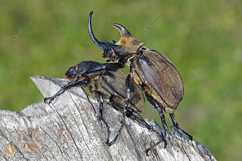 Elefantenkäfer gyas porioni Paarung