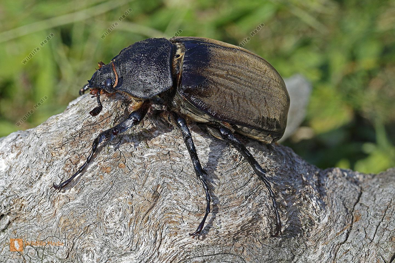 Elefantenkäfer gyas porioni Weibchen