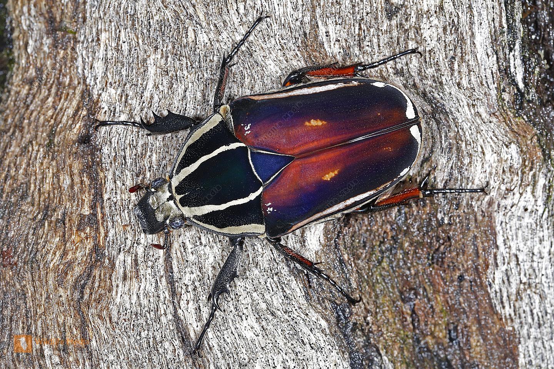 Mecynorhina torquata ugandensis Weibchen