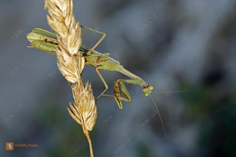 Mittelmeer Mantis