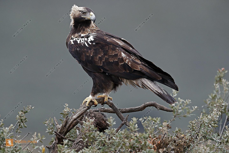Spanischer Kaiseradler Männchen