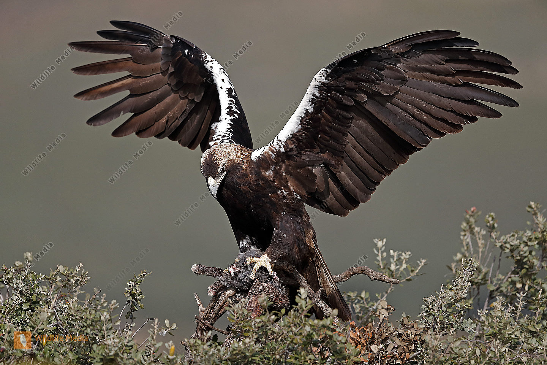 Spanischer Kaiseradler Weibchen