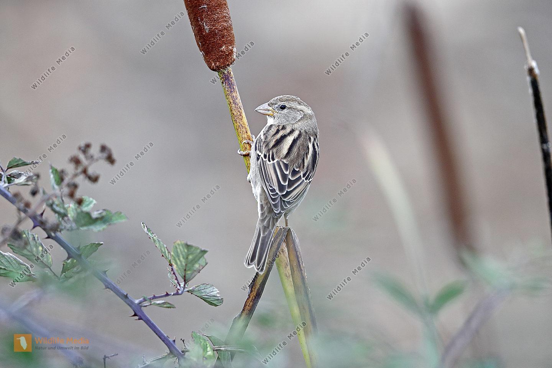 Weidensperling Weibchen