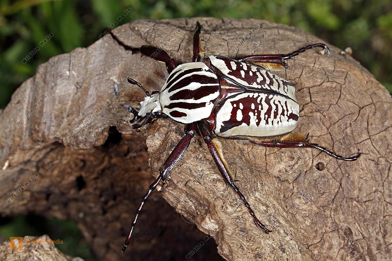Goliathkäfer Albosignatus Männchen Wildlife Media Die