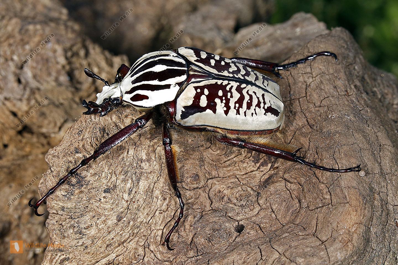 Goliathkäfer albosignatus Männchen