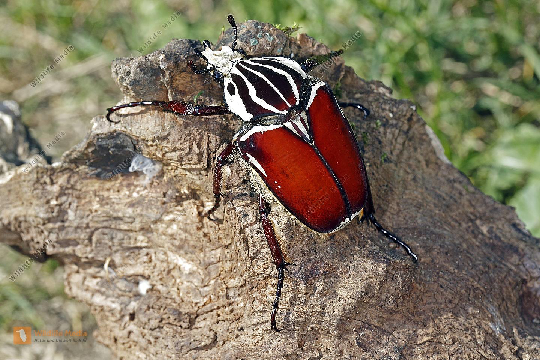 Goliathkäfer goliathus Männchen