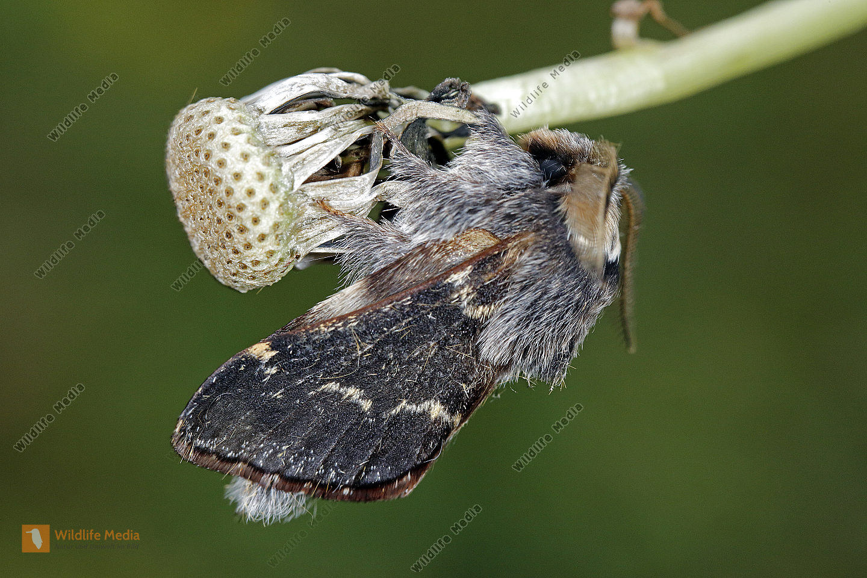 Kleine Pappelglucke Männchen