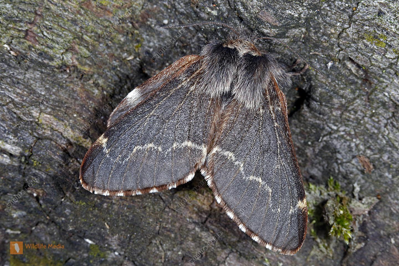 Kleine Pappelglucke Weibchen