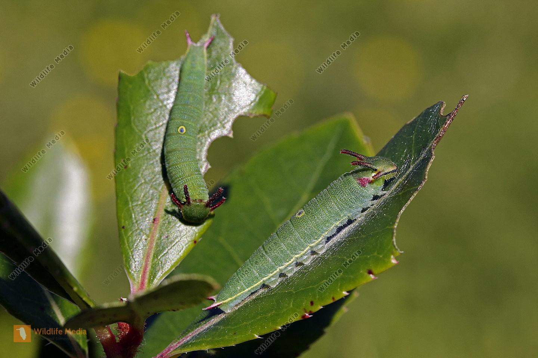 Erdbeerbaumfalter halberwachsene Raupe