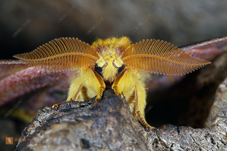 Taiwanesischer Seidenspinner verecunda Männchen
