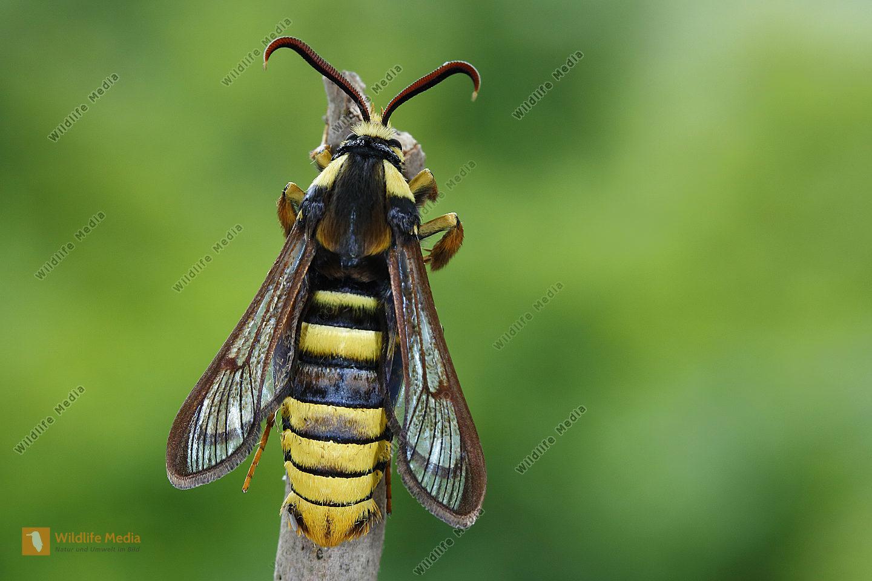 Hornissenglasflügler Männchen