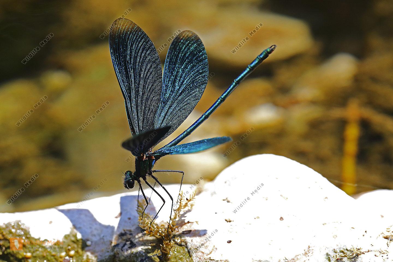 Blauflügelige Prachtlibelle Männchen