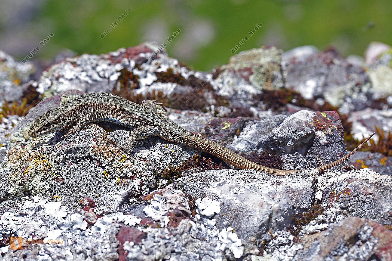 Katalonische Mauereidechse Männchen