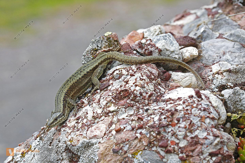 Katalonische Mauereidechse Weibchen