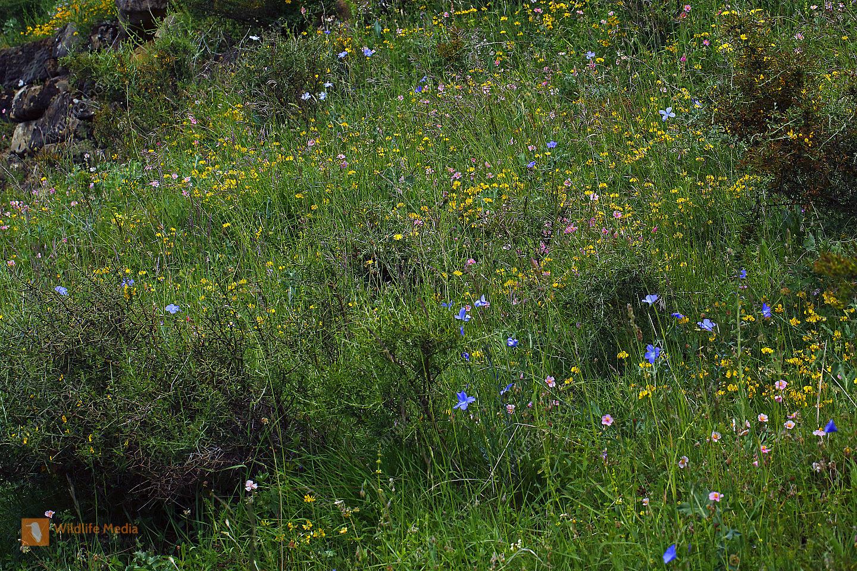 Blumenwiese in den Pyrenäen