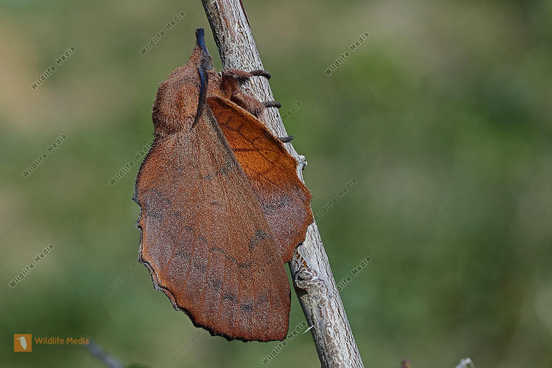 Kupferglucke Männchen