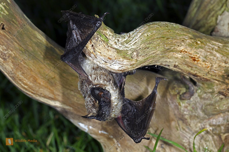 Zweifarbfledermaus