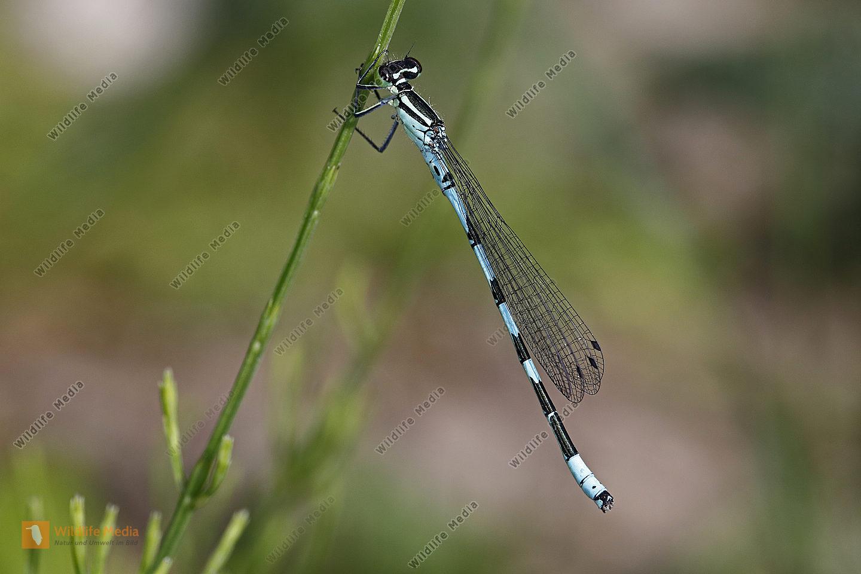 Speer-Azurjungfer Männchen
