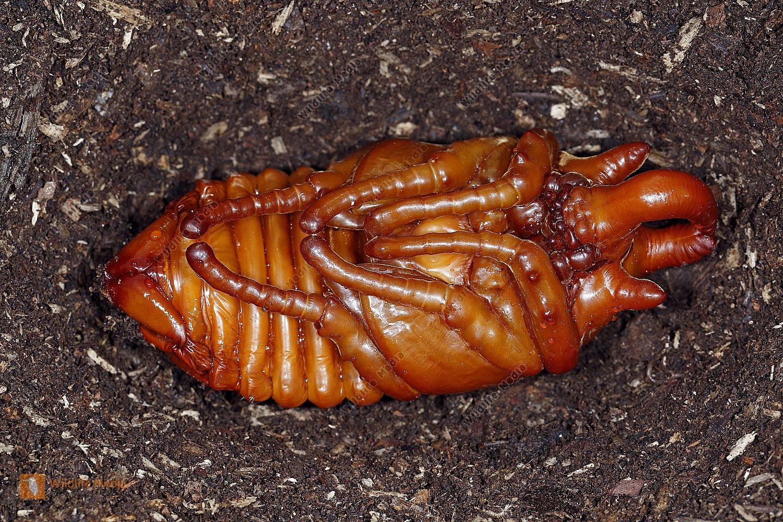 Elefantenkäfer gyas porioni Puppe Männchen