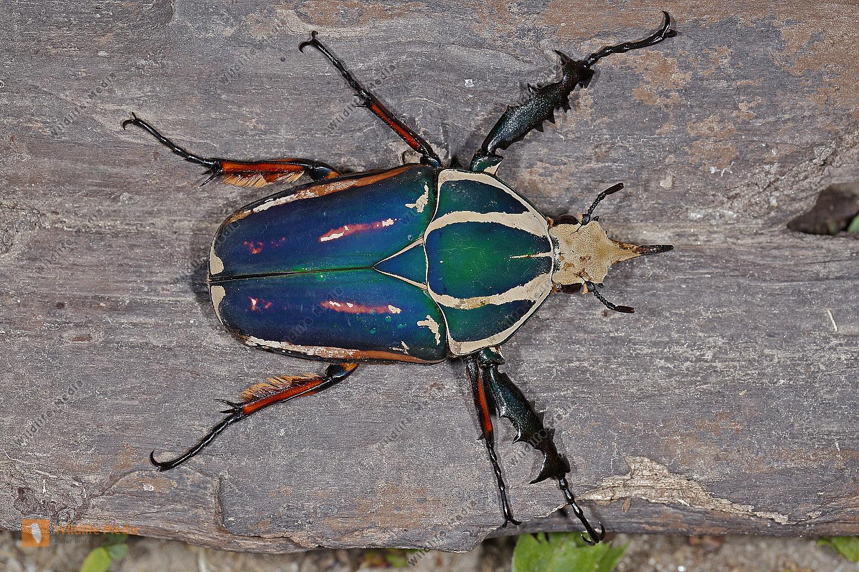 Mecynorhina torquata ugandensis Männchen