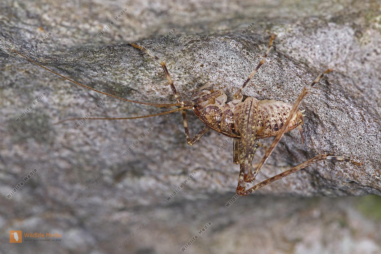 Höhlenschrecke Männchen