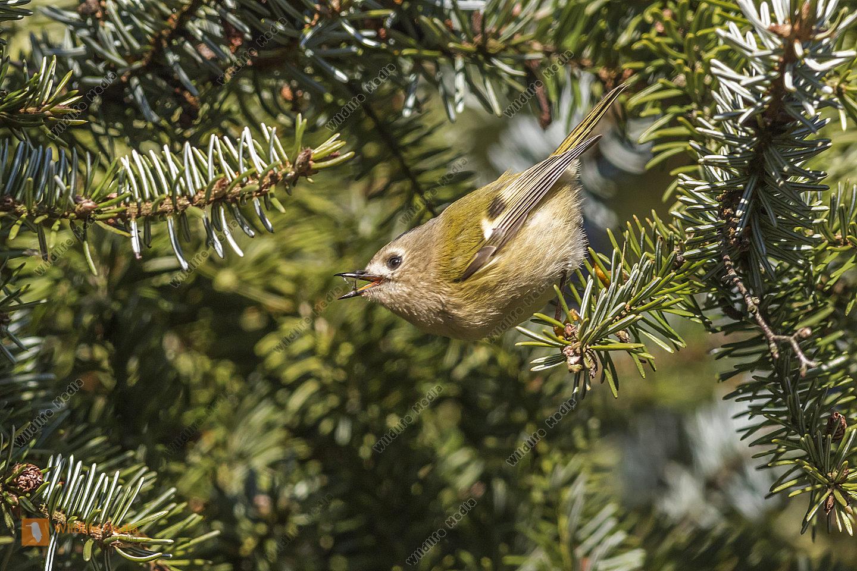 Ein Wintergoldhähnchen auf der Suche nach Nahrung