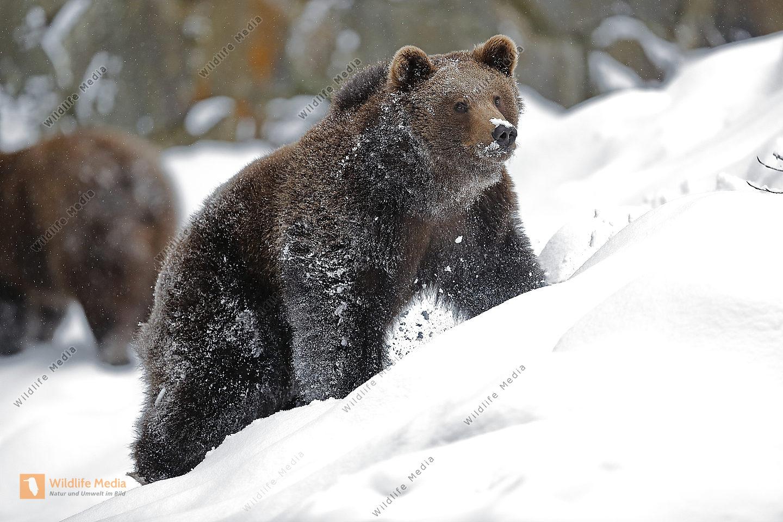 Braunbär im Schnee