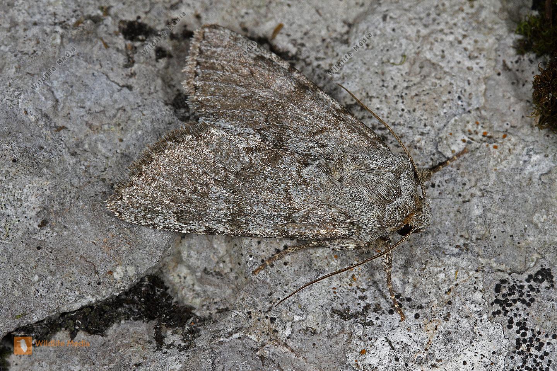 Zeta-Grasbüscheleule