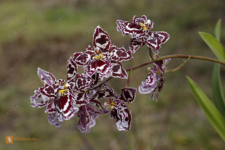 Zimmer Orchidee Odontoglossum