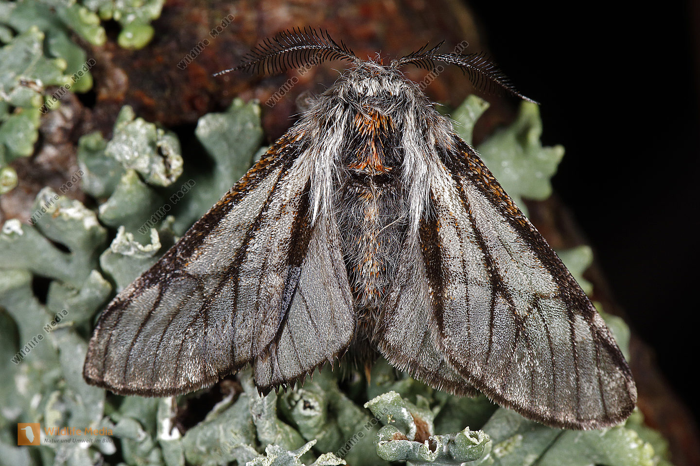 Isabellenspanner Männchen