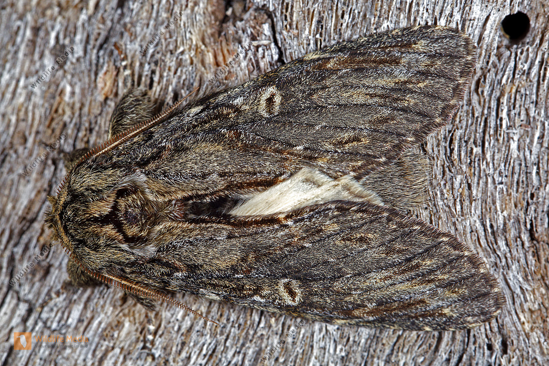 Eichen-Zahnspinner