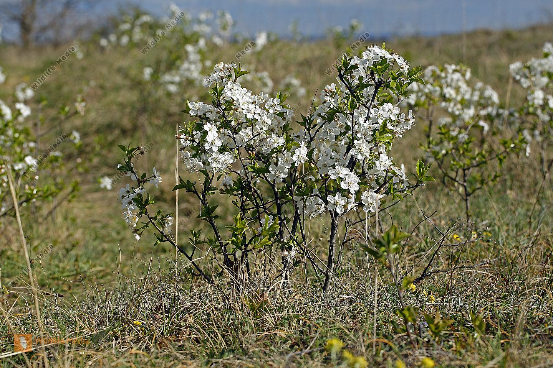 Zwerg-Weichsel Blüte