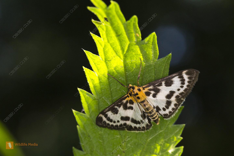 Brennnesselzünsler (Anania hortulata)