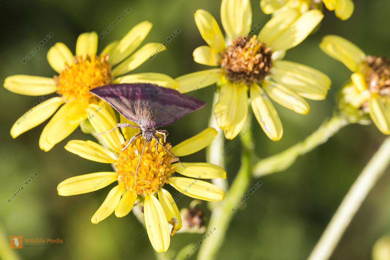 Ein Kreuzblumen-Bunteulchen an Jakobskreuzkraut