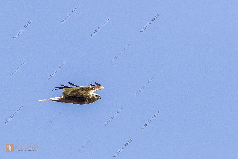 Eine  Rohrweihe im Suchflug
