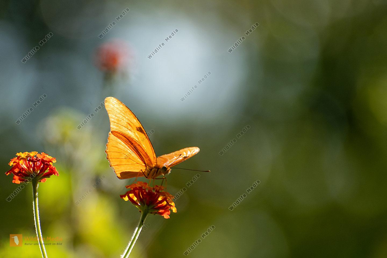 Julia Schmetterling