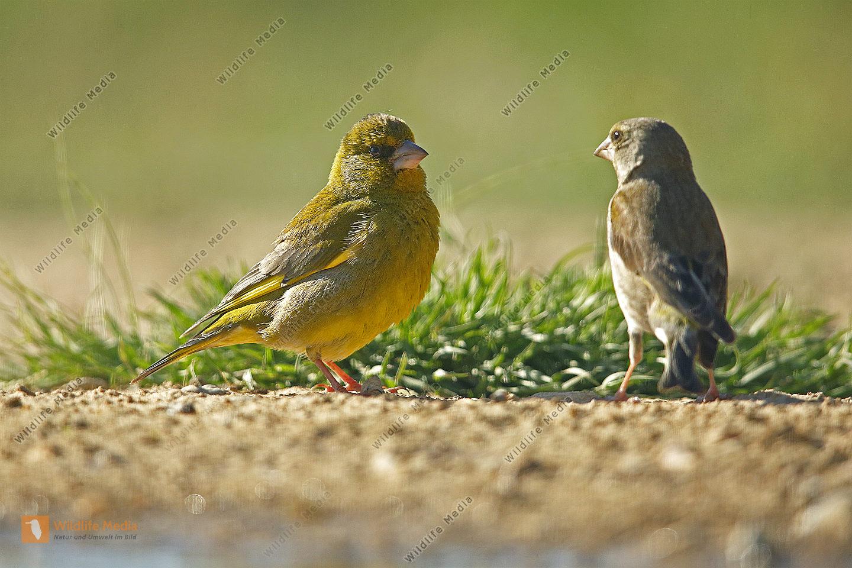 Grünfink Pärchen