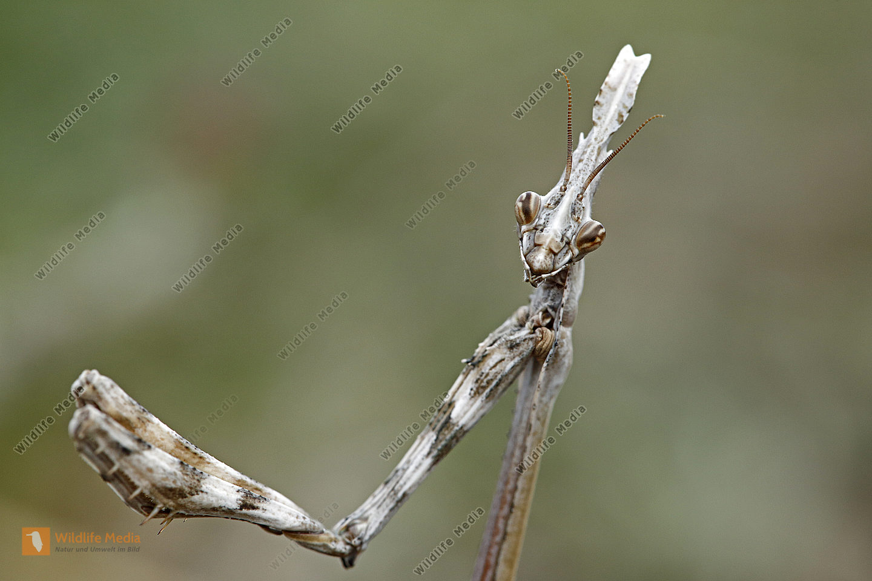 Haubenfangschrecke