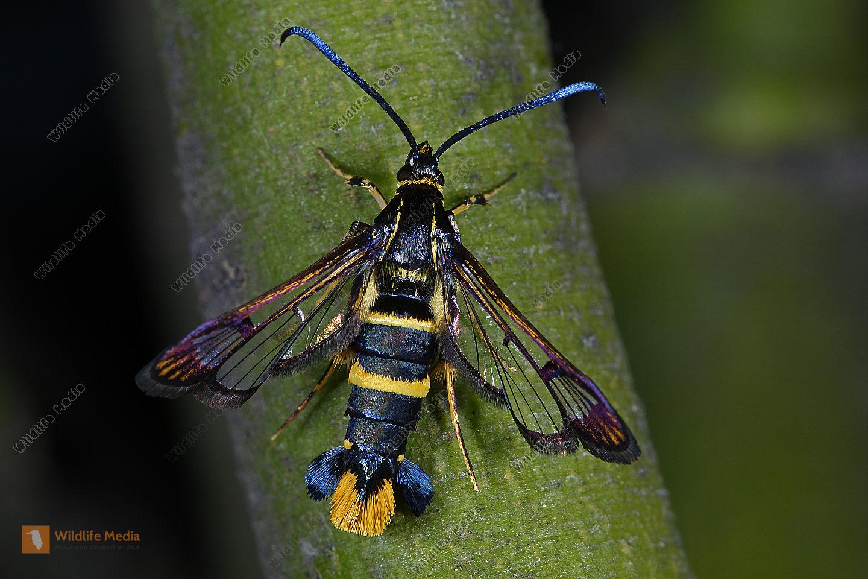 Mistel-Glasflügler Weibchen