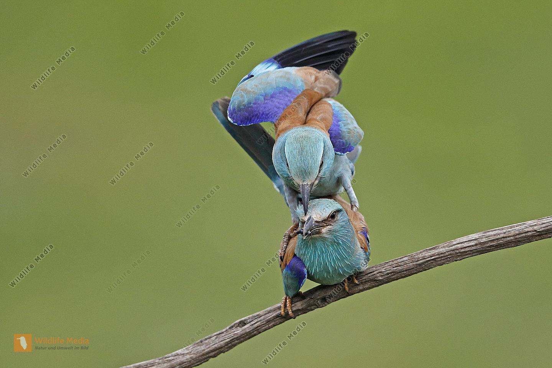 Blauracke Paarung