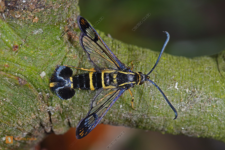 Mistel-Glasflügler Männchen