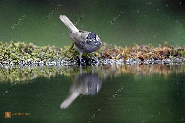 Mönchsgrasmücke Männchen